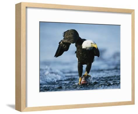 American Bald Eagle Clasps a Fish in its Talons-Klaus Nigge-Framed Art Print