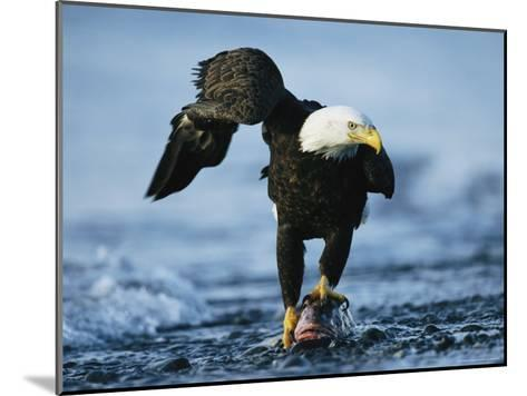 American Bald Eagle Clasps a Fish in its Talons-Klaus Nigge-Mounted Photographic Print