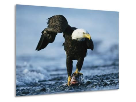 American Bald Eagle Clasps a Fish in its Talons-Klaus Nigge-Metal Print