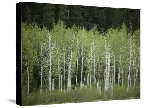 Woodland View in Alaska-Klaus Nigge-Stretched Canvas Print