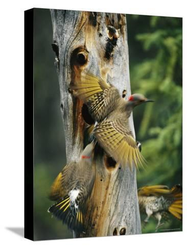 Trio of Northern Flickers Around a Nesting Hole in an Old Snag-Michael S^ Quinton-Stretched Canvas Print
