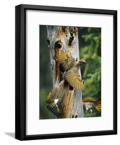 Trio of Northern Flickers Around a Nesting Hole in an Old Snag-Michael S^ Quinton-Framed Art Print