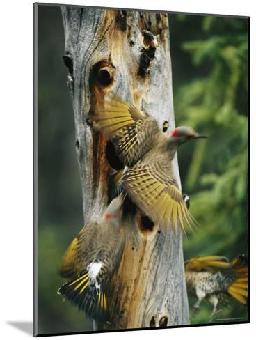 Trio of Northern Flickers Around a Nesting Hole in an Old Snag-Michael S^ Quinton-Mounted Photographic Print