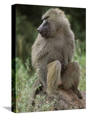 Close View of a Baboon in Profile-Richard Nowitz-Stretched Canvas Print