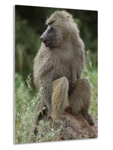 Close View of a Baboon in Profile-Richard Nowitz-Metal Print
