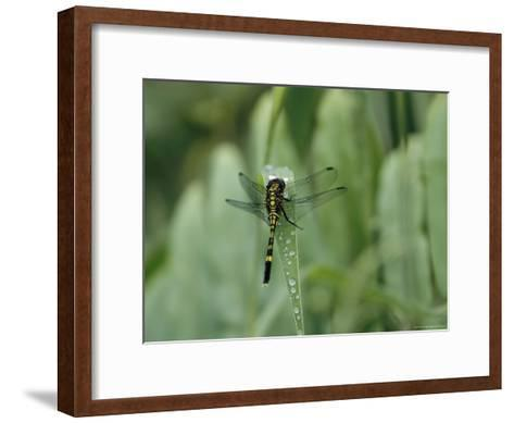 Dragonfly Sitting on a Blade of Grass with Dew Droplets--Framed Art Print