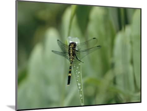 Dragonfly Sitting on a Blade of Grass with Dew Droplets--Mounted Photographic Print