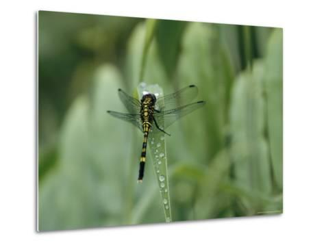Dragonfly Sitting on a Blade of Grass with Dew Droplets--Metal Print