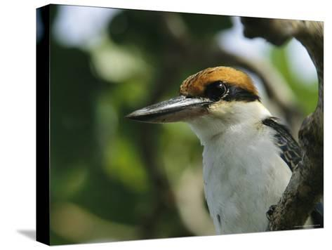 Close View of the Head of a Micronesian Kingfisher-Tim Laman-Stretched Canvas Print
