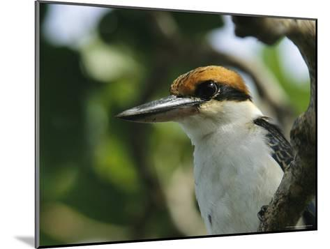 Close View of the Head of a Micronesian Kingfisher-Tim Laman-Mounted Photographic Print