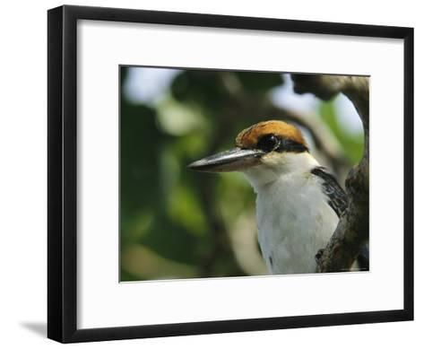 Close View of the Head of a Micronesian Kingfisher-Tim Laman-Framed Art Print