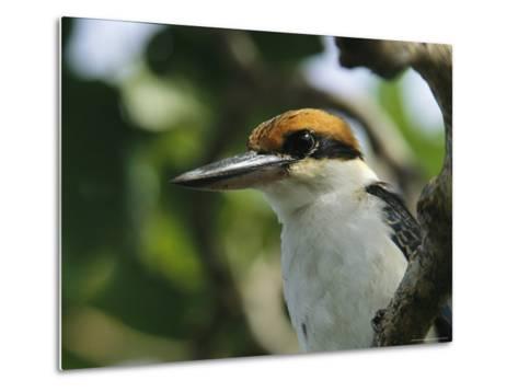 Close View of the Head of a Micronesian Kingfisher-Tim Laman-Metal Print
