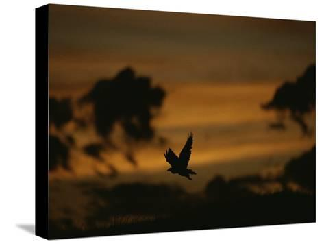 Silhouette of a Red-Tailed Hawk in Flight at Sunset-Joel Sartore-Stretched Canvas Print