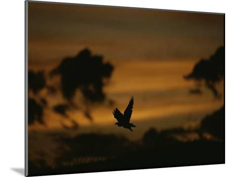 Silhouette of a Red-Tailed Hawk in Flight at Sunset-Joel Sartore-Mounted Photographic Print