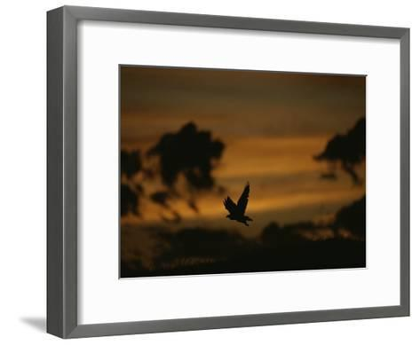 Silhouette of a Red-Tailed Hawk in Flight at Sunset-Joel Sartore-Framed Art Print