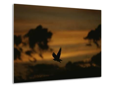 Silhouette of a Red-Tailed Hawk in Flight at Sunset-Joel Sartore-Metal Print