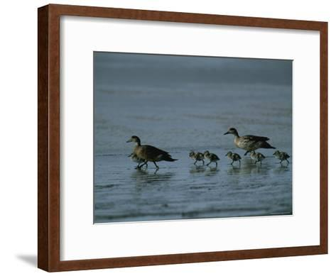 Family of Ducks on a Mud Flat on the Edge of a Saline Lake-Joel Sartore-Framed Art Print