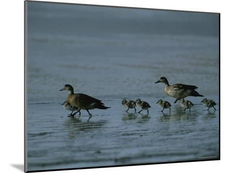 Family of Ducks on a Mud Flat on the Edge of a Saline Lake-Joel Sartore-Mounted Photographic Print