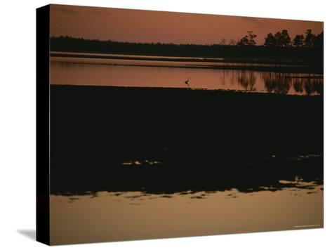 Sunset Behind Loblolly Pines on a Tidal Marsh with a Great Blue Heron-Raymond Gehman-Stretched Canvas Print
