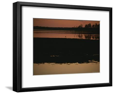 Sunset Behind Loblolly Pines on a Tidal Marsh with a Great Blue Heron-Raymond Gehman-Framed Art Print