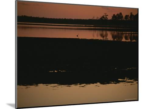 Sunset Behind Loblolly Pines on a Tidal Marsh with a Great Blue Heron-Raymond Gehman-Mounted Photographic Print