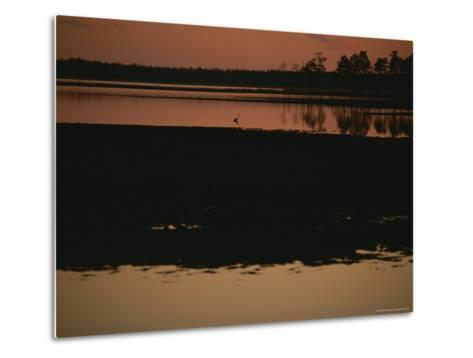 Sunset Behind Loblolly Pines on a Tidal Marsh with a Great Blue Heron-Raymond Gehman-Metal Print