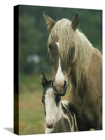 Portrait of a Wild Pony and her Foal-James L^ Stanfield-Stretched Canvas Print