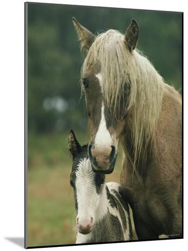 Portrait of a Wild Pony and her Foal-James L^ Stanfield-Mounted Photographic Print