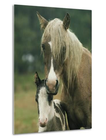 Portrait of a Wild Pony and her Foal-James L^ Stanfield-Metal Print