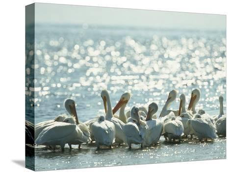 American White Pelicans on Floridas Gulf Coast-Klaus Nigge-Stretched Canvas Print