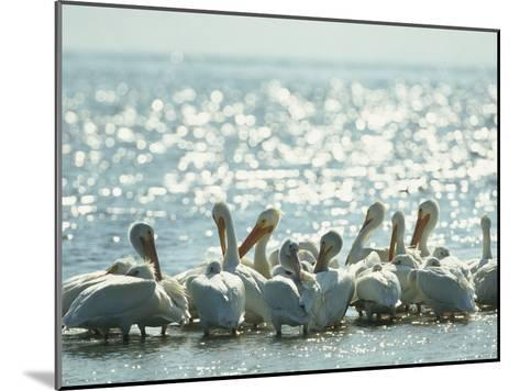American White Pelicans on Floridas Gulf Coast-Klaus Nigge-Mounted Photographic Print