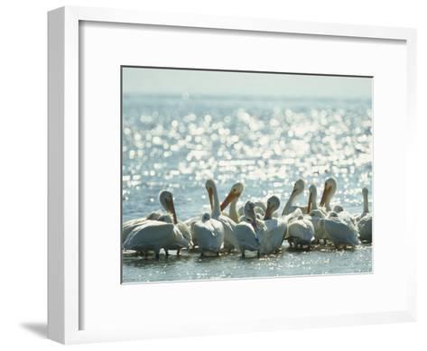 American White Pelicans on Floridas Gulf Coast-Klaus Nigge-Framed Art Print