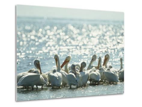 American White Pelicans on Floridas Gulf Coast-Klaus Nigge-Metal Print