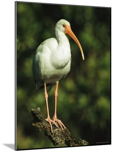 White Ibis Perches on a Tree Branch on Floridas Gulf Coast-Klaus Nigge-Mounted Photographic Print