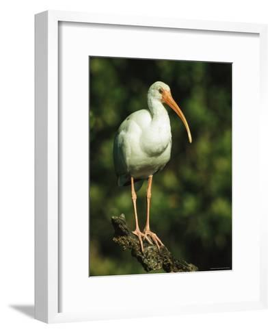 White Ibis Perches on a Tree Branch on Floridas Gulf Coast-Klaus Nigge-Framed Art Print