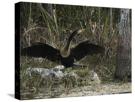 Anhinga Spreads its Wings on Floridas Gulf Coast-Klaus Nigge-Stretched Canvas Print