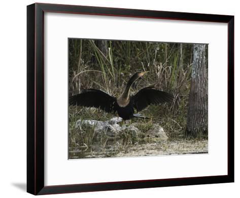Anhinga Spreads its Wings on Floridas Gulf Coast-Klaus Nigge-Framed Art Print