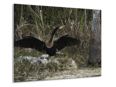 Anhinga Spreads its Wings on Floridas Gulf Coast-Klaus Nigge-Metal Print