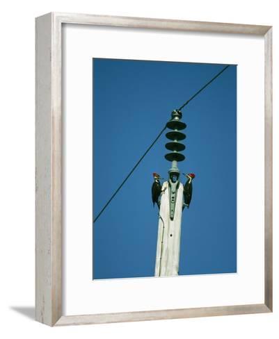 Pair of Pileated Woodpeckers on Floridas Gulf Coast-Klaus Nigge-Framed Art Print