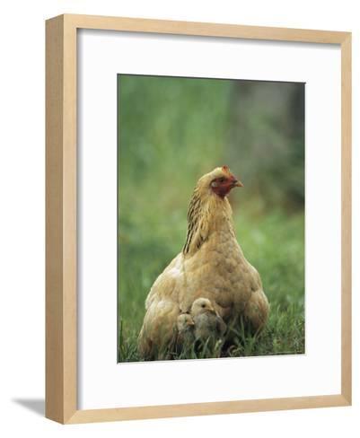 Hen and her Chicks Sitting in Grass--Framed Art Print