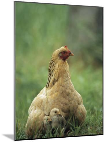 Hen and her Chicks Sitting in Grass--Mounted Photographic Print