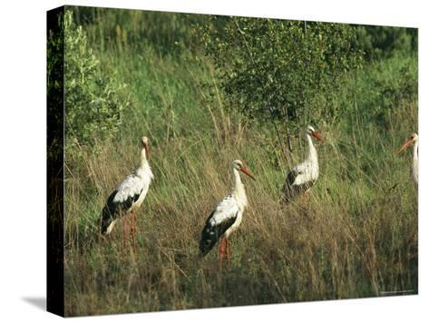White Storks in High Grass--Stretched Canvas Print