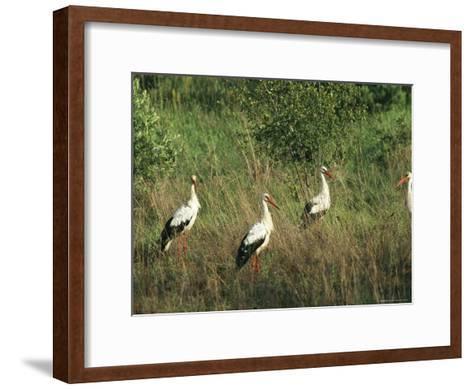 White Storks in High Grass--Framed Art Print