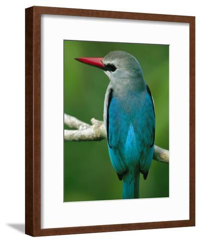 Senegal Kingfisher Perched on a Branch-Michael Nichols-Framed Art Print