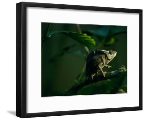 Chameleon Traversing a Thin Branch-Michael Nichols-Framed Art Print