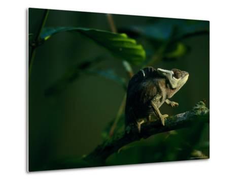 Chameleon Traversing a Thin Branch-Michael Nichols-Metal Print