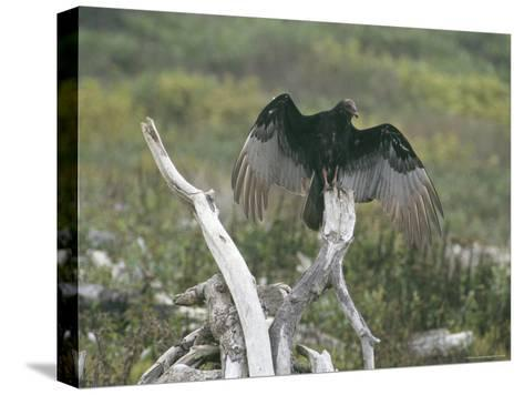 Turkey Vulture Sunning its Wings--Stretched Canvas Print