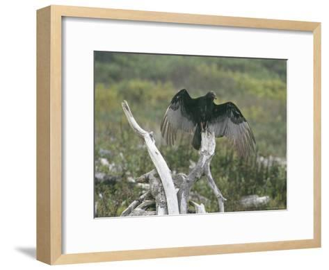 Turkey Vulture Sunning its Wings--Framed Art Print