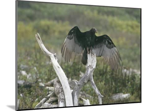 Turkey Vulture Sunning its Wings--Mounted Photographic Print