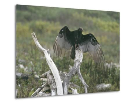 Turkey Vulture Sunning its Wings--Metal Print